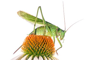 Bush Cricket (Tettigonia cantans) on flower, Podere Montecucco, Orvieto, Umbria, Italy, September  -  Paul Harcourt Davies/ npl