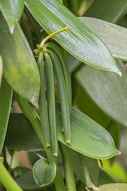 Vanilla (Vanilla planifolia) fruit pods on vine, Eden Project, Cornwall, England, UK, native to Mexico  -  Adrian Davies/ npl