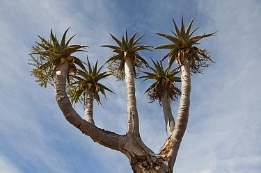Giant, Bastard quiver tree (Aloe dichotoma pillansii) Richtersveld National Park and World Heritage Site, Northern Cape, South Africa, August  -  Rhonda Klevansky/ npl