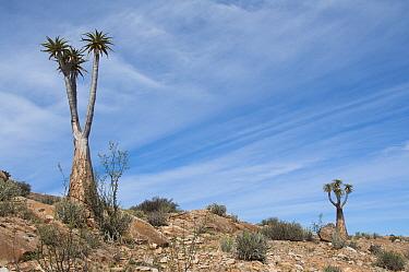 Two Giant, Bastard quiver trees (Aloe dichotoma pillansii) in desert habitat, Richtersveld National Park and World Heritage Site, Northern Cape, South Africa, August  -  Rhonda Klevansky/ npl