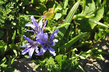 Iris (Babiana sp) in flower, Namaqualand flowers, West Coast National Park, Western Cape, South Africa, August  -  Rhonda Klevansky/ npl