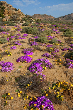 Daisies (Dimorphotheca sinuata) and ice plants (Drosanthemum hispidum) in flower, Goegap Nature Reserve, Northern Cape, Namaqualand, South Africa, August  -  Rhonda Klevansky/ npl