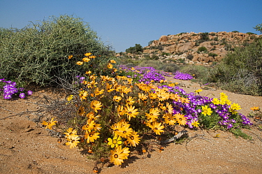 Daisies (Dimorphotheca sinuata) and Ice plants ( Drosanthemum hispidum) in flower, Goegap Nature Reserve, Namaqualand, South Africa, August  -  Rhonda Klevansky/ npl