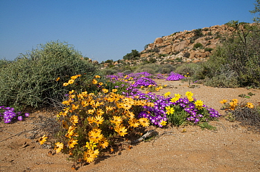 Daisies (Dimorphotheca sinuata) and Ice plants (Drosanthemum hispidum) in flower, Goegap Nature Reserve, Namaqualand, South Africa, August  -  Rhonda Klevansky/ npl