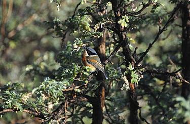 Cape batis, Cape puffback (Batis capensis) bird perched on twig, Giants Castle Game Reserve, Kwazulu Natal, South Africa, July  -  Rhonda Klevansky/ npl