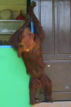 Orangutan (Pongo pygmaeus) mother and baby looking to break in to kitchen, Tanjung Puting reserve, Camp Leakey, Central Kalimantan, Borneo  -  Mark MacEwen/ npl