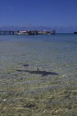 Blacktip Reef Shark (Carcharhinus melanopterus) swimming near edge of beach, Heron Island, Great Barrier Reef, Australia  -  Mark MacEwen/ npl