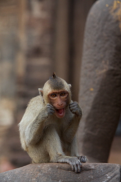 Long-tailed macaque (Macaca fascicularis) juvenile cleaning teeth with human hair stolen from tourists at Monkey Temple, Phra Prang Sam Yot, Lopburi, Thailand  -  Mark MacEwen/ npl