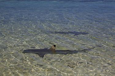 Blacktip Reef Shark (Carcharhinus melanopterus) on edge of beach, Heron Island, Great Barrier Reef, Australia  -  Mark MacEwen/ npl