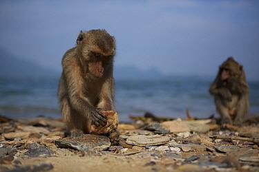 Burmese long tailed macaques (Macaca fascicularis aurea) using stone tools to open cockles at low tide, Kho Ram, Khao Sam Roi Yot National Park, Thailand  -  Mark MacEwen/ npl