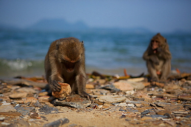 Burmese long tailed macaques (Macaca fascicularis aurea) on beach using stone tools to open cockles at low tide, Kho Ram, Khao Sam Roi Yot National Park, Thailand  -  Mark MacEwen/ npl