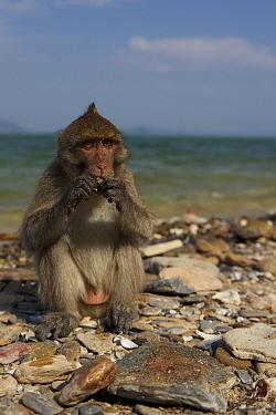 Burmese long tailed macaque (Macaca fascicularis aurea) on beach feeding on cockles cracked opened using stone tools at low tide, Kho Ram, Khao Sam Roi Yot National Park, Thailand  -  Mark MacEwen/ npl