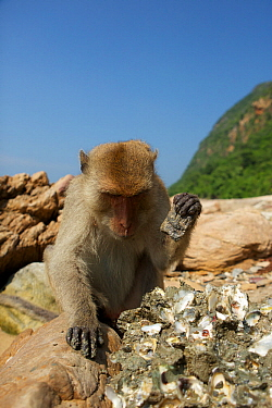 Burmese long tailed macaque (Macaca fascicularis aurea) using stone tools to open Oysters at low tide, Kho Ram, Khao Sam Roi Yot National Park, Thailand  -  Mark MacEwen/ npl