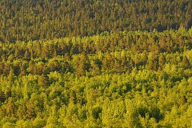 Taiga forest with Scots pine (Pinus sylvestris) Aspen (Populus tremula) and Mountain birch (Betula pubescens tortuosa) trees, Saltoluokta area, Greater Laponia Rewilding Area, Lapland, Norrbotten, Swe...  -  WWE/ Widstrand/ npl