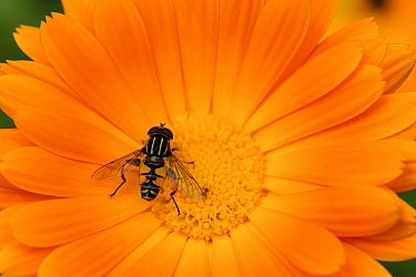 Male Hoverfly (Helophilus pendulus) on Garden marigold (Calendula officinalis) Alsace, France, May  -  Eric Baccega/ npl