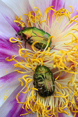 Two Rose Chafer (Cetonia aurata) on Peony flower (Paeonia suffruticosa) Alsace, France, May  -  Eric Baccega/ npl