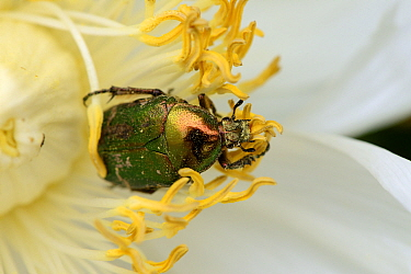 Rose Chafer (Cetonia aurata) on Peony flower (Paeonia suffruticosa) Alsace, France, May  -  Eric Baccega/ npl
