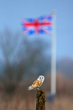 Barn Owl (Tyto alba) in front of union jack flag, UK, March  -  Andy Rouse/ npl