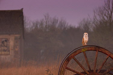 Barn Owl (Tyto alba) on old wheel in early morning, UK, March  -  Andy Rouse/ npl