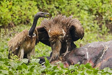 Indian vultures (Gyps indicus) scavenging on dead rhino, Mizoram, north east India  -  Sandesh Kadur/ npl