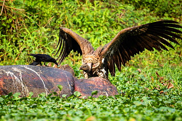 Indian vulture (Gyps indicus) scavenging on dead rhino, with wings spread aggressively at Thick billed crow (Corvus crassirostris) Mizoram, north east India  -  Sandesh Kadur/ npl