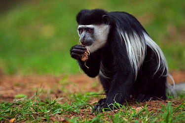 Eastern Black-and-white Colobus (Colobus guereza) young male feeding on soil for its salts and minerals Kakamega Forest National Reserve, Western Province, Kenya  -  Fiona Rogers/ npl