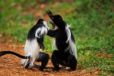 Eastern Black-and-white Colobus (Colobus guereza) monkeys play fighting Kakamega Forest National Reserve, Western Province, Kenya  -  Fiona Rogers/ npl
