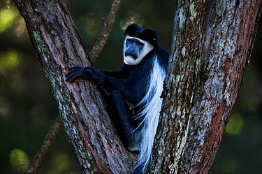 Eastern Black-and-white Colobus (Colobus guereza) male sitting in a tree Kakamega Forest South, Western Province, Kenya  -  Fiona Rogers/ npl