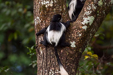 Eastern Black-and-white Colobus (Colobus guereza) baby aged 9-12 months climbing a tree, back view Kakamega Forest National Reserve, Western Province, Kenya  -  Fiona Rogers/ npl