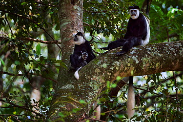 Eastern Black-and-white Colobus (Colobus guereza) female with baby aged 2-3 months sitting with mature male in a tree Kakamega Forest South, Western Province, Kenya  -  Fiona Rogers/ npl