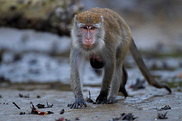 Long-tailed macaque (Macaca fascicularis) female carrying a baby aged 2-4 weeks under her belly foraging on the mudflats of the mangrove swamp at low tide Bako National Park, Sarawak, Borneo, Malaysia  -  Anup Shah/ npl