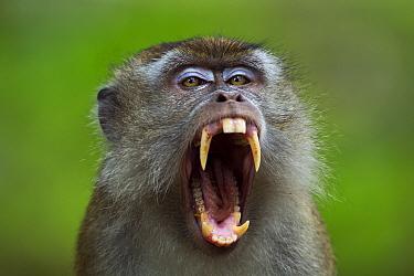 Long-tailed macaque (Macaca fascicularis) mature male threat yawning, portrait Bako National Park, Sarawak, Borneo, Malaysia Apr 2010  -  Fiona Rogers/ npl