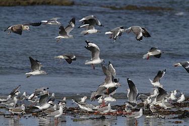 Grey-headed gullls (Larus cirrocephalus poiocephalus) feeding on discarded fish offal, Tanji Beach, Gambia, west Africa  -  Mike Wilkes/ npl