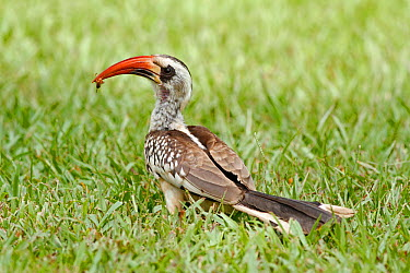 Red billed hornbill (Tockus erythrochynchus) standing in grass with food, Kairaba Hotel Grounds, Gambia, West Africa  -  Mike Wilkes/ npl