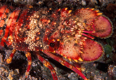 Unidentified juvenile slipper lobster (possibly Scyllarides squammosus, the Blunt Slipper Lobster), Reunion Island, Indian Ocean  -  Roberto Rinaldi/ npl