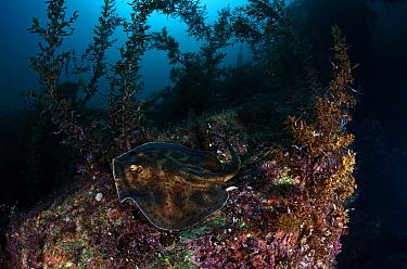 Cortez Round Stingray (Urobatis maculatus), San Pedro Martir Island Protected Area, Gulf of California (Sea of Cortez), Mexico, July  -  Claudio Contreras/ npl