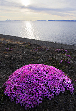 Moss campion (Silene acaulis) in flower, Svalbard, Norway, July  -  Pal Hermansen/ npl