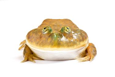 Budgetts frog (Lepidobatrachus laevis) captive on white background Native to Argentina and Boliva  -  Chris Mattison/ npl