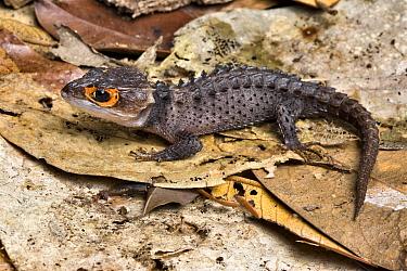 Crocodile Skink (Triblonotus gracilis) on leaf litter, captive from Papua New Guinea  -  Chris Mattison/ npl
