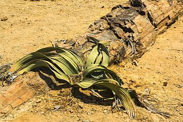 Welwitschia (Welwitschia mirabilis) growing among tree fossils in the Petrified Forest, Namibia  -  Chris Mattison/ npl