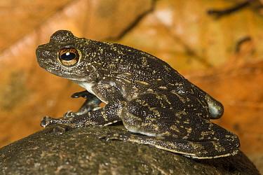 Rock Skipper (Staurois latopalmatus) Danum Valley, Sabah, Borneo  -  Chris Mattison/ npl