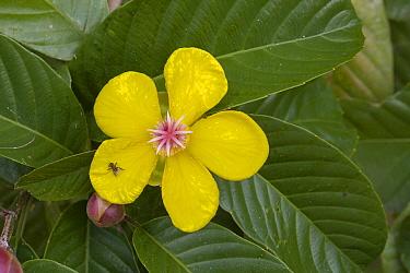 Simpoh, Simpeh tree (Dillenia excelsa) Danum Valley, Sabah, Borneo  -  Chris Mattison/ npl