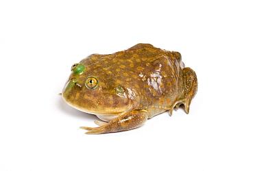 Budgetts frog (Lepidobatrachus laevis) taken on white background, captive from South America  -  Chris Mattison/ npl