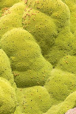 Andean cushion plant (Laretia compacta) Chile  -  Chris Mattison/ npl