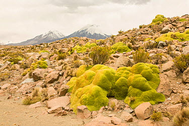 Andean cushion plants (Laretia compacta) in habitat, Chile  -  Chris Mattison/ npl