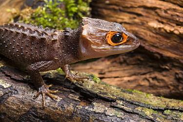 Crocodile Skink (Triblonotus gracilis) captive from Papua New Guinea  -  Chris Mattison/ npl