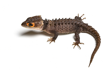 Crocodile Skink (Triblonotus gracilis) against white background, captive from Papua New Guinea  -  Chris Mattison/ npl