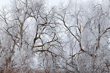 Frosted Black Cottonwood Trees (Populus trichocarpa), Eastern Washington, USA January 2014  -  Floris Van Breugel/ npl