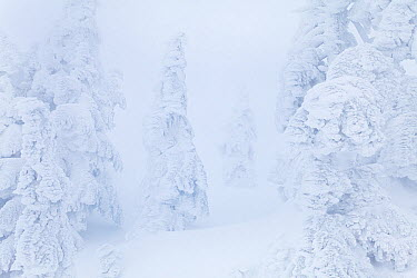 Rime ice and freezing fog on the trees near the summit of Mount Seymour, British Columbia, Canada February 2013  -  Floris Van Breugel/ npl