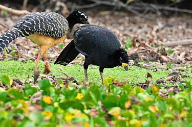 Male Bare-faced Curassow (Crax fasciolata) foraging on the margin of Pixaim River with female, Pantanal of Mato Grosso, Mato Grosso State, Western Brazil  -  Luiz Claudio Marigo/ npl